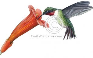 Illustration of ruby-throated hummingbird feeding from red trumpet vine flower Archilochus colubris, Campsis radicans