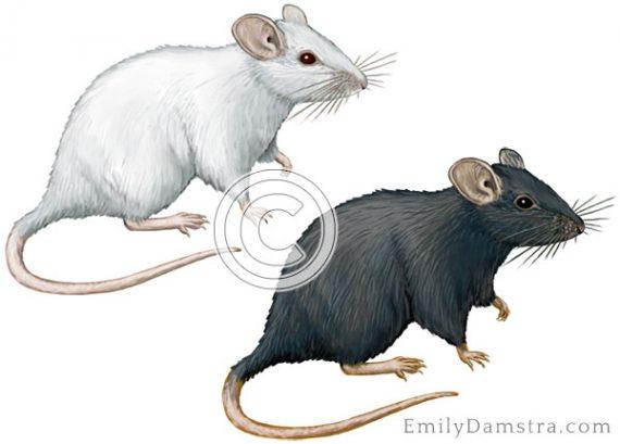 lab mice black white illustration