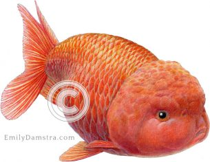 Lionhead goldfish illustration