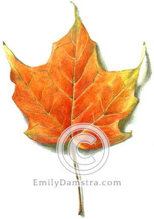 Orange maple leaf – Emily S. Damstra