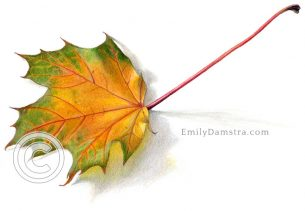 Yellow and green maple leaf – Emily S. Damstra