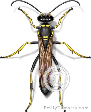 Black and yellow mud dauber – Emily S. Damstra