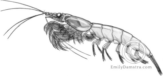 Northern krill illustration Meganyctiphanes norvegica