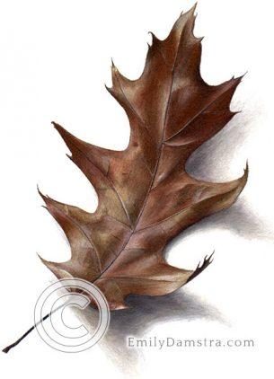 Autumn red oak leaf – Emily S. Damstra