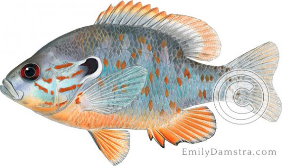 Orangespotted sunfish Lepomis humilis illustration