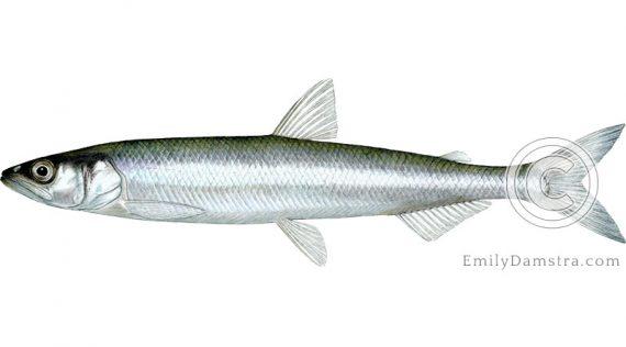 Rainbow smelt Osmerus mordax illustration