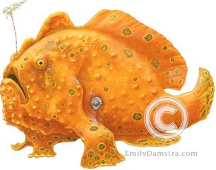 Painted frogfish – Emily S. Damstra
