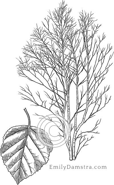 Paper birch illustration Betula papyrifera