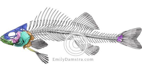 perch skeleton illustration Perca flavescens