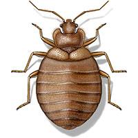 bed bug illustration