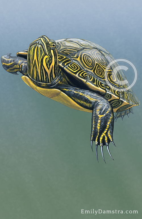 River Cooter illustration Pseudemys concinna