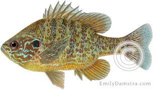 Pumpkinseed sunfish Lepomis gibbosus illustration