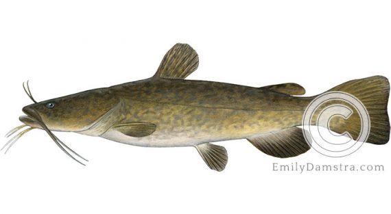 Flathead Catfish Pylodictis olivaris illustration