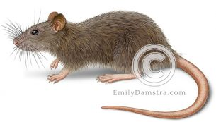 Norway rat or Brown rat – Emily S. Damstra