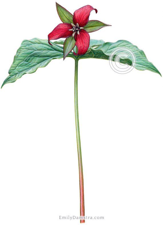 Red trillium illustration erectum