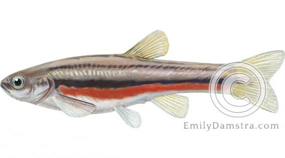 Northern Redbelly dace Phoxinus eos illustration