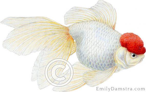 Redcap Oranda goldfish illustration