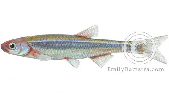 Rosyface shiner Notropis rubellus illustration