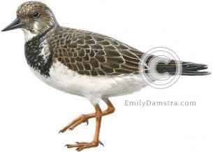 Arenaria interpres Ruddy turnstone non-breeding plumage illustration