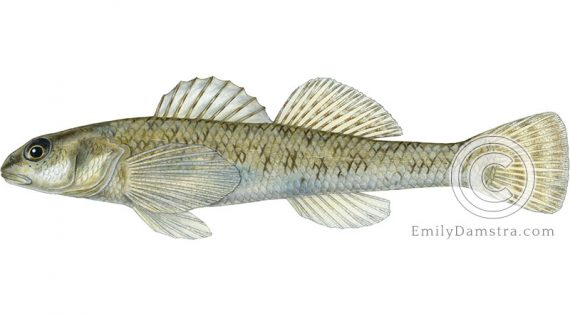 johnny darter Etheostoma nigrum eulepis illustration