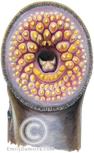 Sea lamprey mouth – Emily S. Damstra