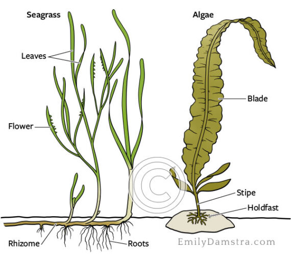 Sea grass and seaweed comparison illustration