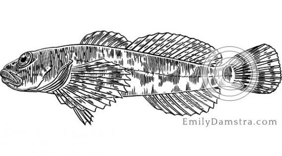 Slimy sculpin illustration Cottus cognatus
