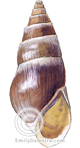 Liver elimia illustration livescens