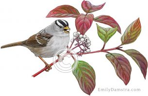 White-crowned sparrow Zonotrichia leucophrys Cornus stolonifera