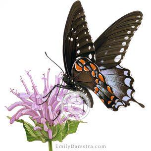Spicebush swallowtail on Wild bergamot Papilio troilus Monarda fistulosa