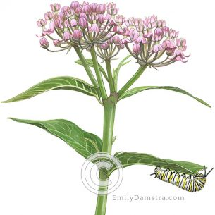 Swamp milkweed with Monarch caterpillar – Emily S. Damstra