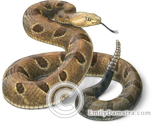 Timber rattlesnake illustration Crotalus horridus