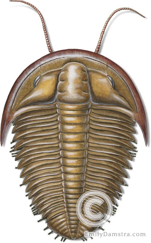 Cambrian trilobite illustration Billingsaspis adamsii