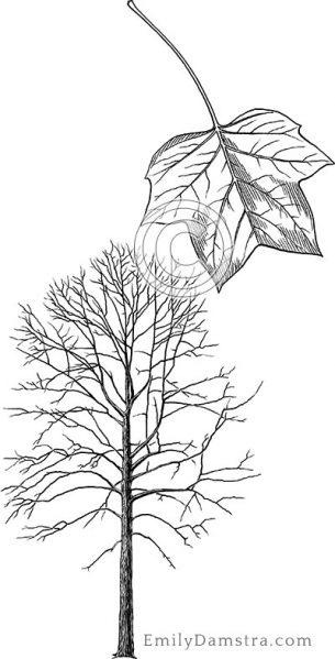 American tulip tree – Emily S. Damstra