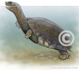 Western pond turtle illustration Clemmys marmorata