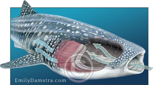 Filter Feeding Anatomy Of The Whale Shark Emily S Damstra Emily