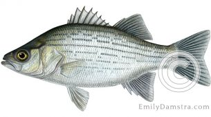 White bass – Emily S. Damstra