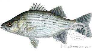 White bass Morone chrysops illustration