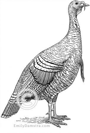 Wild turkey – Emily S. Damstra