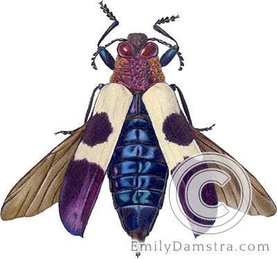 Wood-boring beetle illustration Chrysochroa buqueti mirabilis