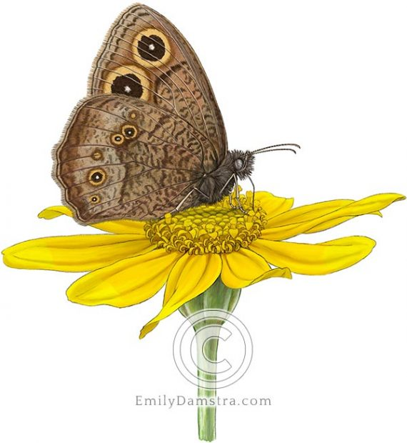 Common Wood-nymph butterfly on Woolly sunflower blossom Cercyonis pegala Eriophyllum lanatum