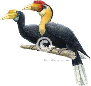 Wrinkled hornbill illustration Aceros corrugatus