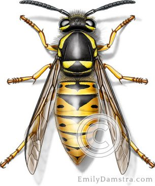 Eastern yellow jacket – Emily S. Damstra