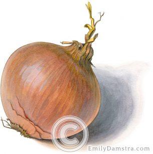 Yellow onion – Emily S. Damstra