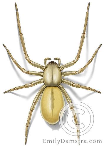 Yellow sac spider illustration Cheiracanthium inclusum
